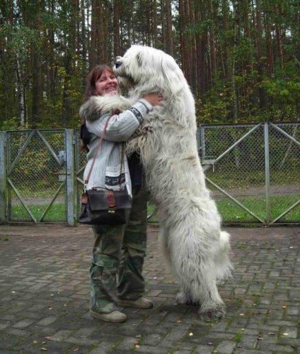 20 огромных собак, которые все
