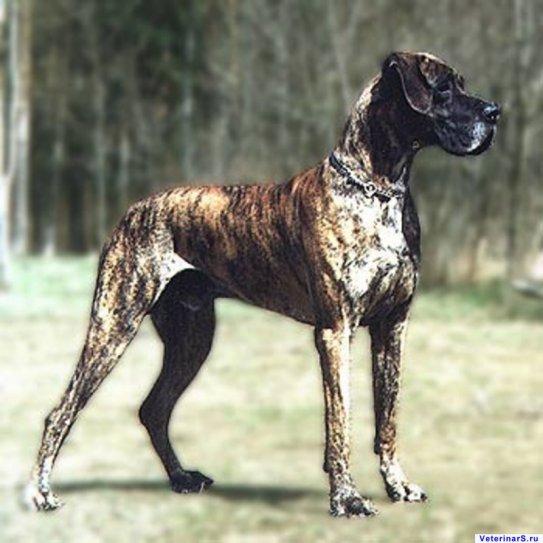 Фото немецкого дога. Собаки