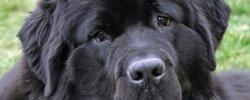 Собака Тибетский Мастиф Фото