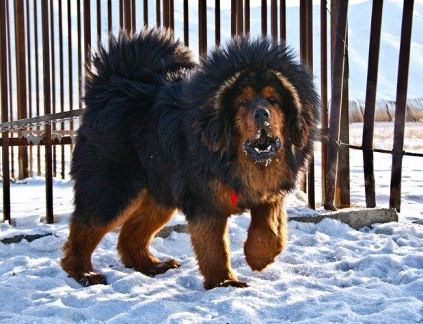 картинки больших собак: