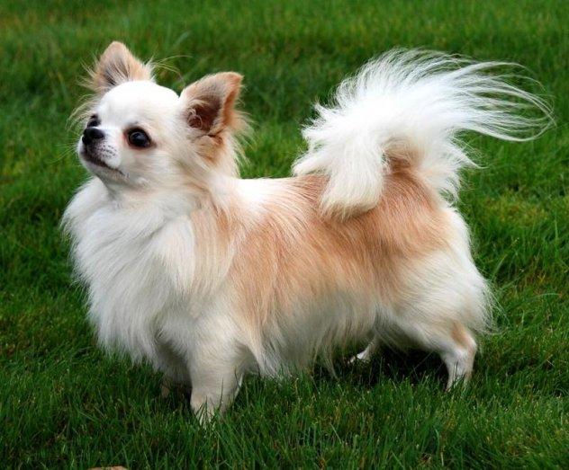 Собаки маленьких пород фото